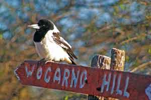Pied butcherbird at Wogarno Station, WA. Photograph by Chris Tate.